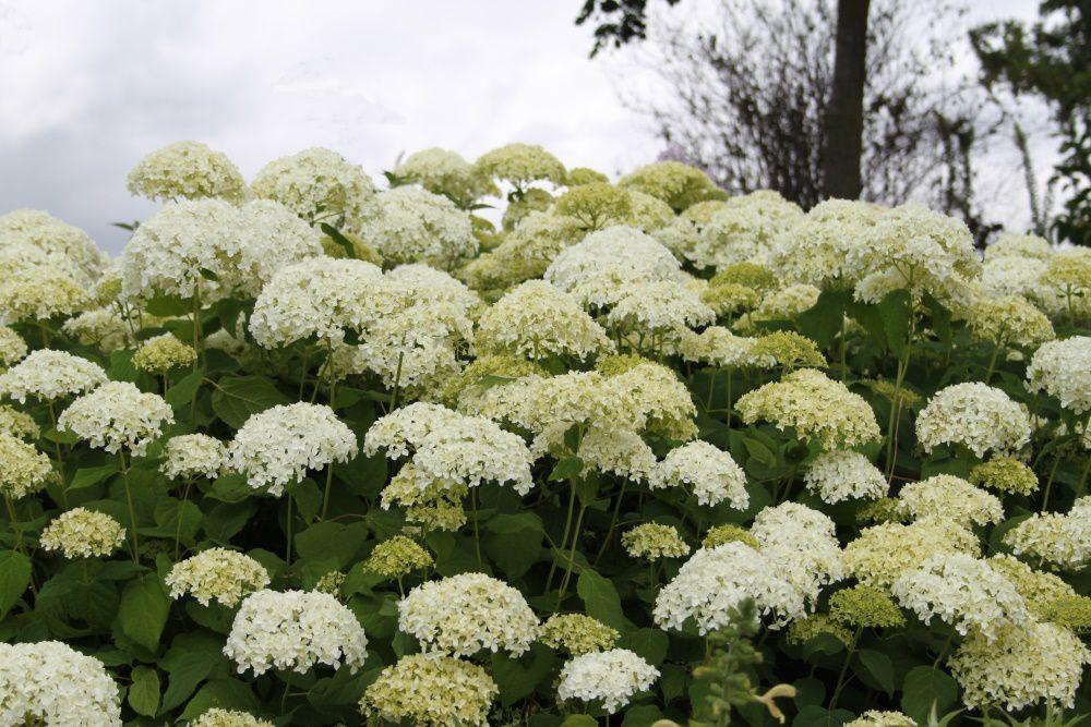 D couvrez l 39 hydrangea arborescens 39 annabelle 39 plaisir for Fleurs et arbustes de jardin