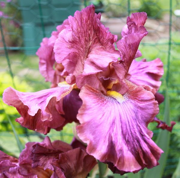 Iris germanica 'La fortune' 1