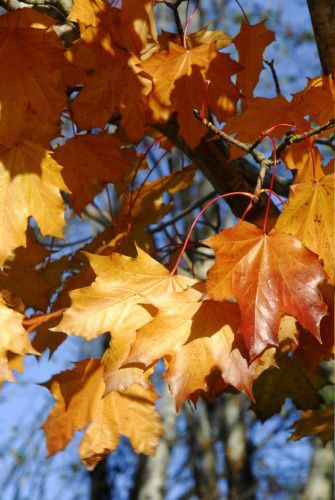 october maples