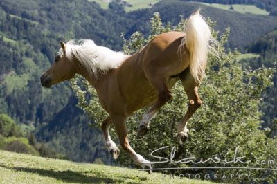 Haflinger_Fee_50767.jpg