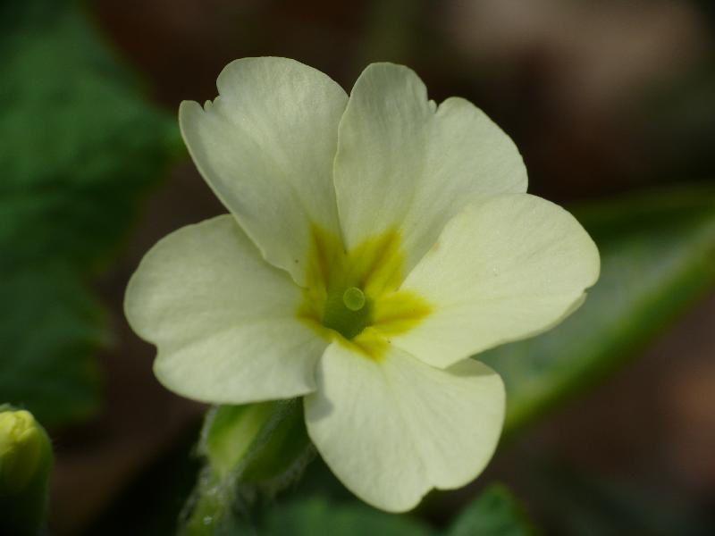 primula-vulgaris.jpg