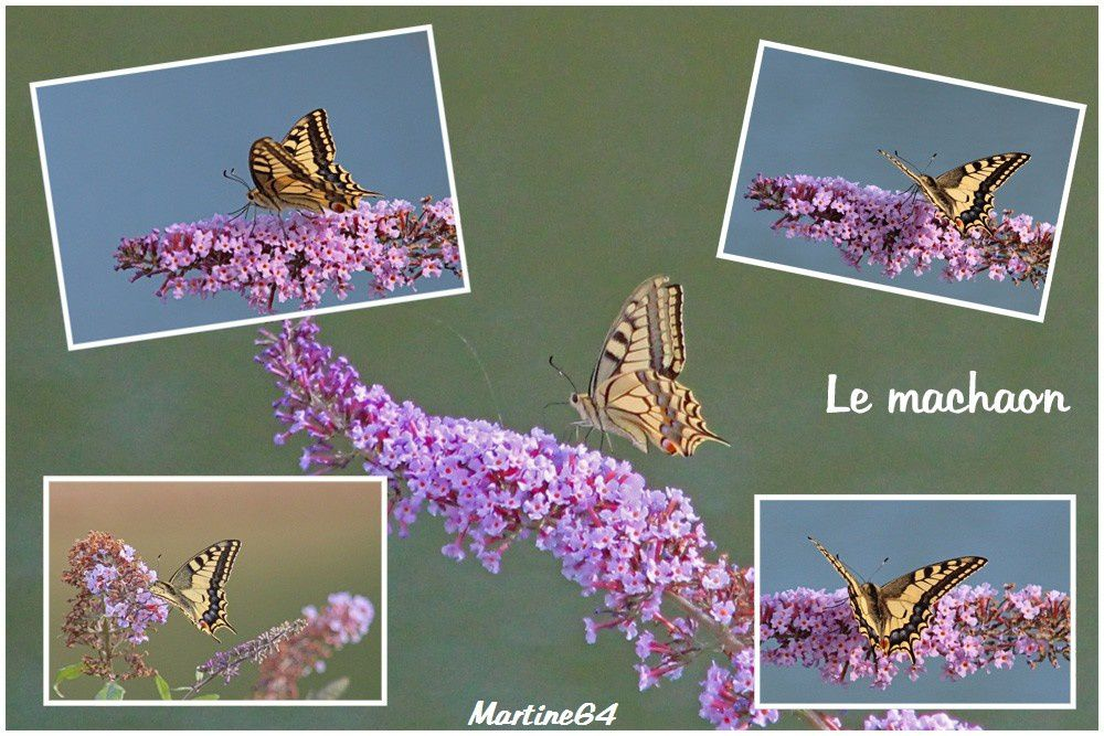 Montages Papillons 0068a