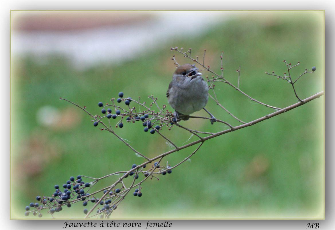Oiseaux de mon jardin et d'ailleurs