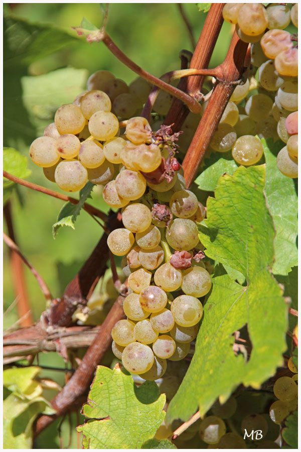 """Vin : le JurançonRaisin : """"Petit Manseng""""  et """"Gros Manseng""""Vignoble situé à Monein"""