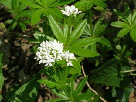 med-Visoflora-fleur-d-asperule-odorante-318.jpg
