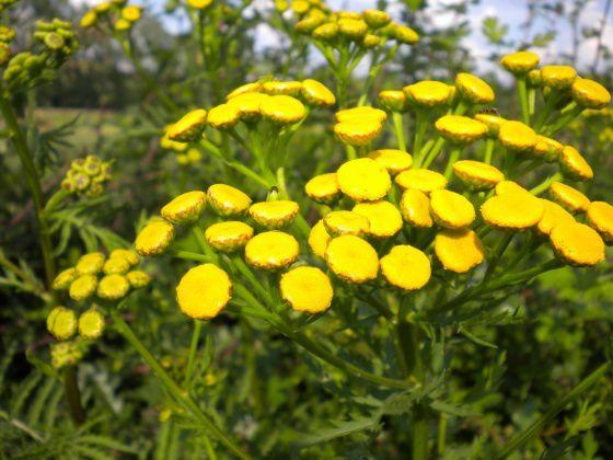 med-tanaisie-commune-tanacetum-vulgare-visoflora-34397.jpg