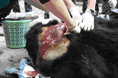 13 urgence animaux de chine ours