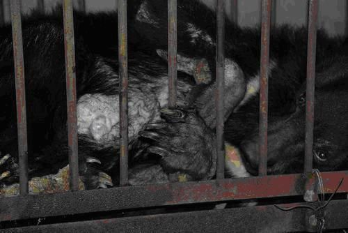 15 urgence animaux de chine ours