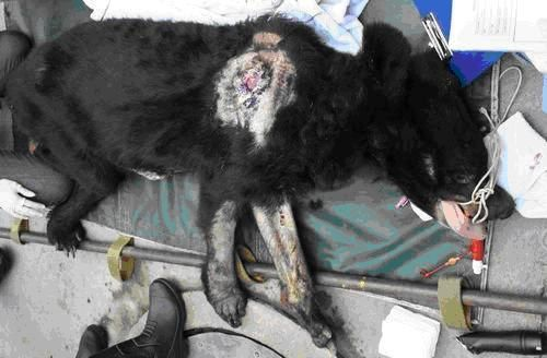 17 urgence animaux de chine ours