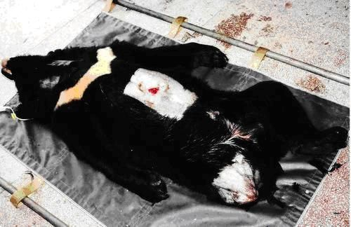 9 urgence animaux de chine ours