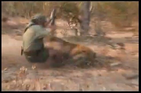 lion-attaque.jpg