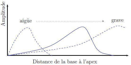 Tonotopie-Passive-de-la-cochlee.JPG