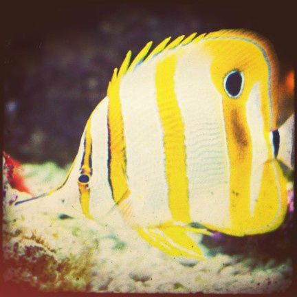 yellow-striped-fish effected effected