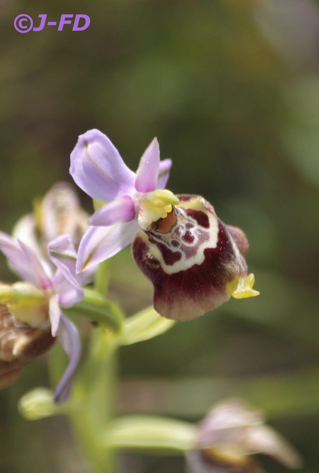 Album - orchidées italiennes