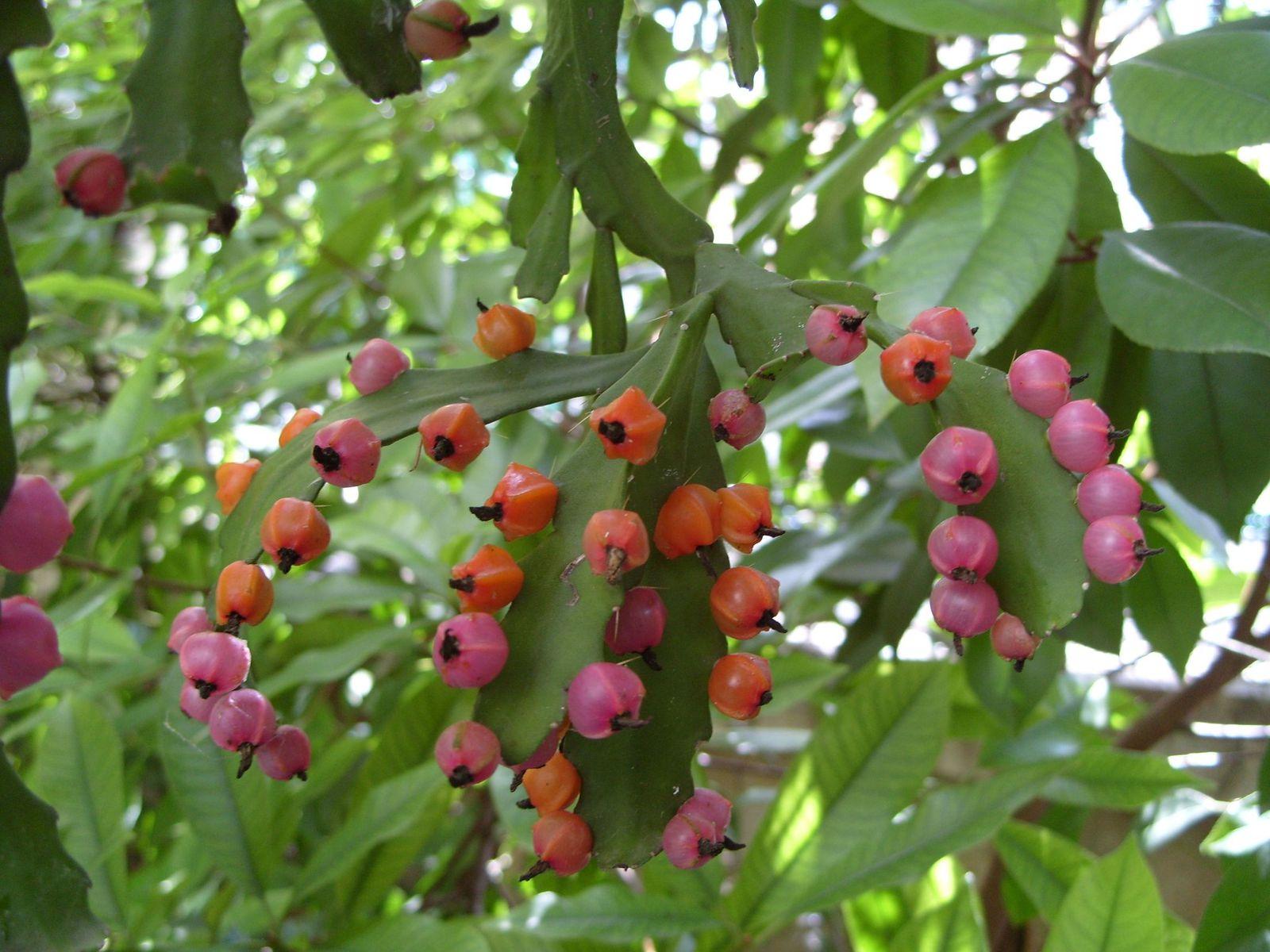 Fruits des cactus