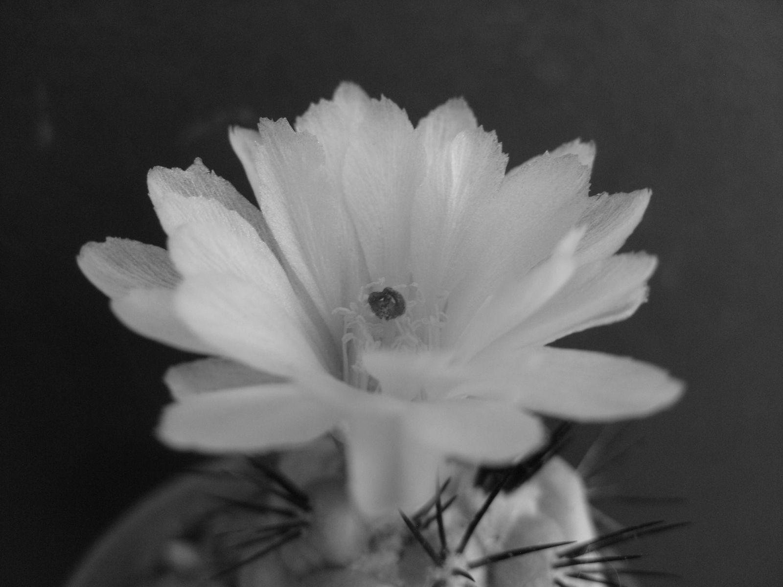 Photos de mes fleurs de cactées