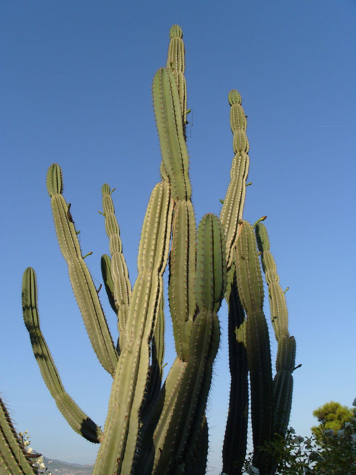 Photos de cactus prises dans des jardineries ou dans la nature