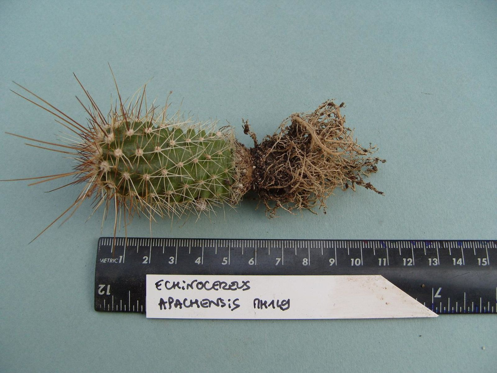 Racines de mes cactus avant le rempotage