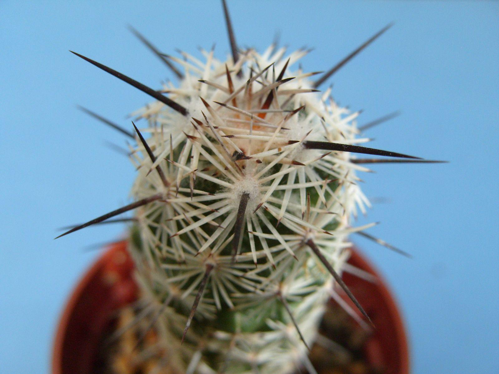 Spination et détail des épines de mes cactus.