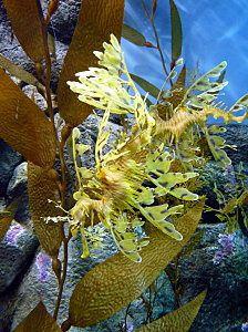 LeafySeaDragon3600ppx3.jpg
