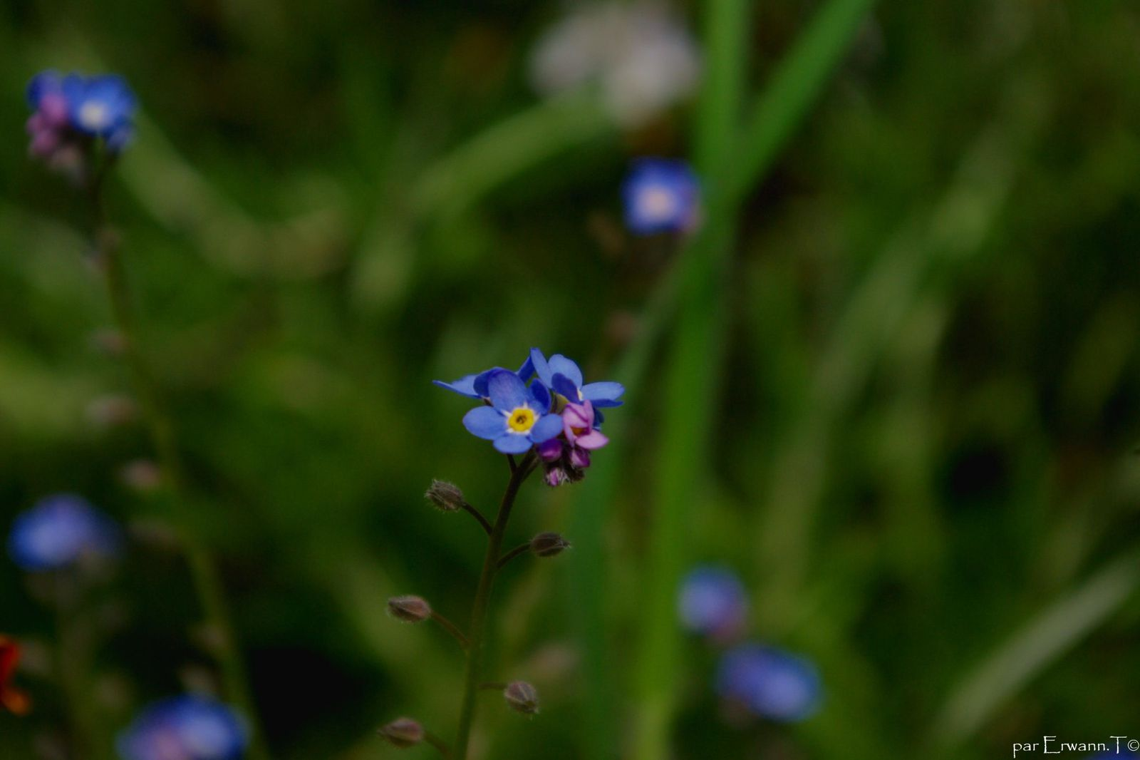 Fleurs Myosotis