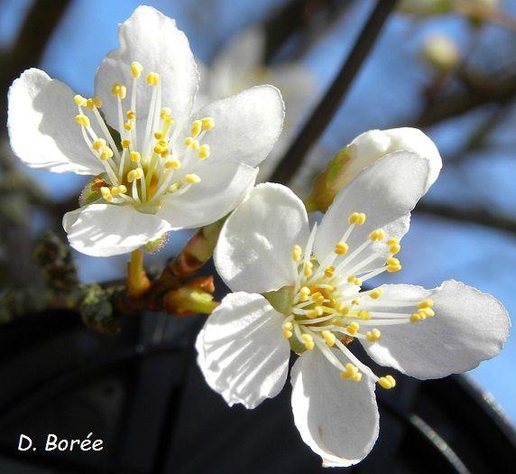 Fleurs de prunelliers08