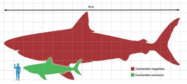 Megaselachus-tailles-comparees.jpg