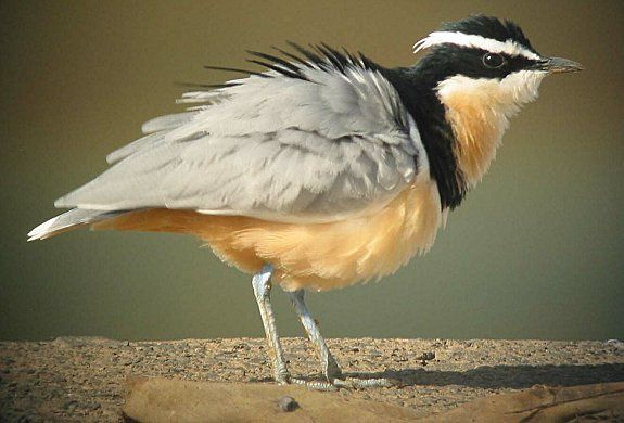 egyptianplover.jpg