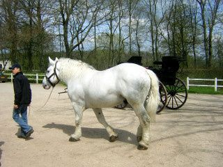 Percheron_blanc