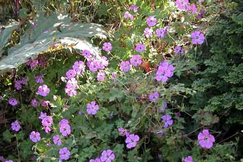 Geranium-Pink-Penny-2