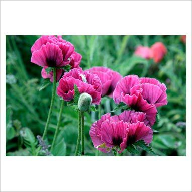 papaver Manhattan