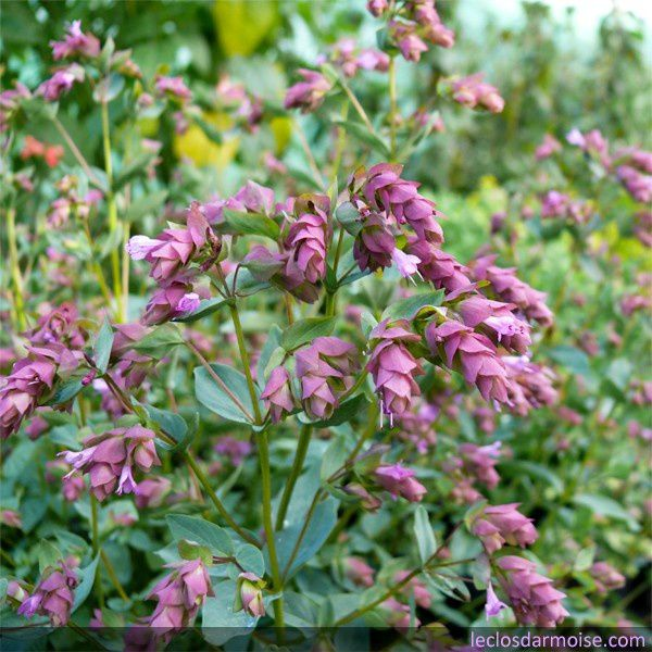origanum-bristol-cross-