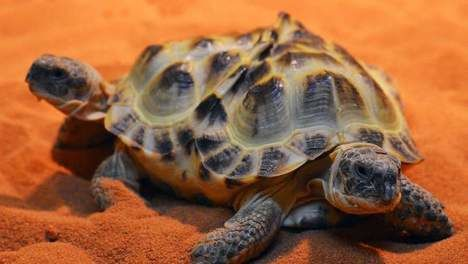 tortue2tetes6pattes.jpg