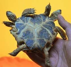 tortue2tetes6pattes1.jpg