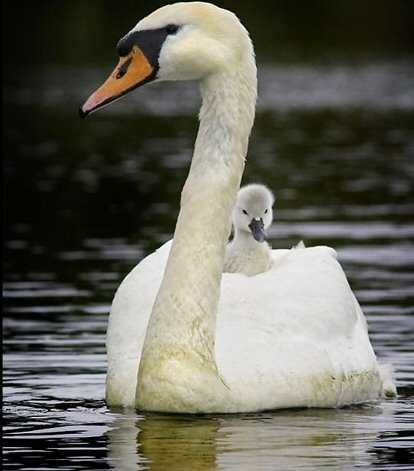 Maman cygne