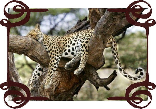 sommeil-leopard