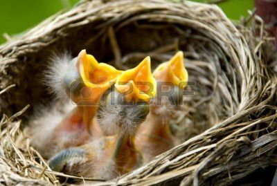 8825579-three-hungry-baby-robins-in-a-nest-wanting-the-moth.jpg