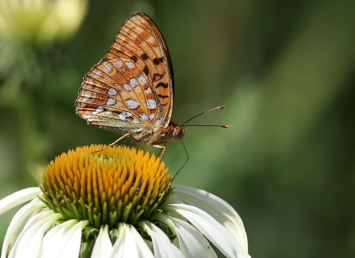 Papillons et Chenilles 1010 WEB L