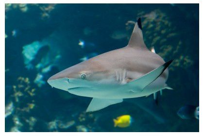 requin-perhentian-islands.jpg