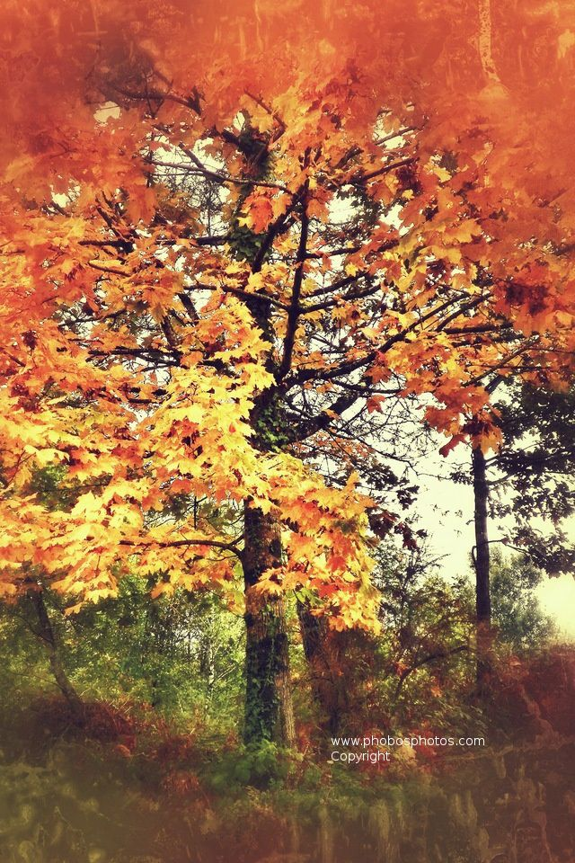 un arbre aux couleurs de l 39 automne fond d 39 cran iphone 4s a tree in the colors of automn free. Black Bedroom Furniture Sets. Home Design Ideas
