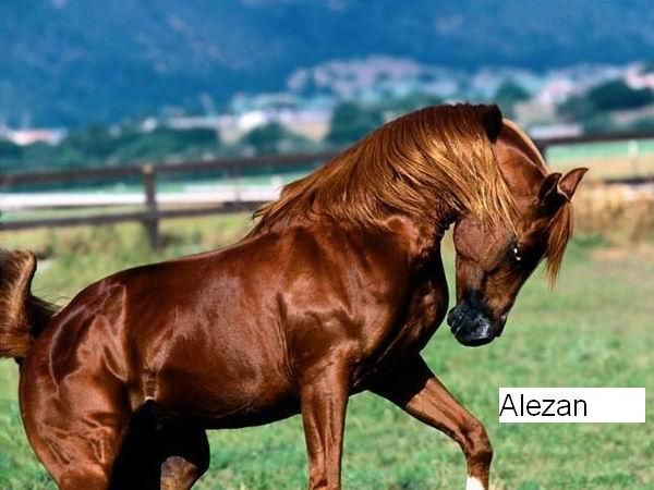 cheval-alezan-copie-1.jpg