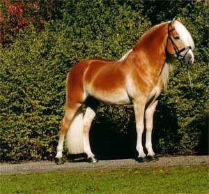 cheval alezan crins lavés