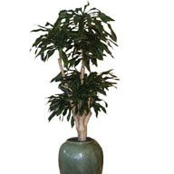 dracaena-fragrance--d---Copy.jpg