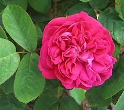 rose-de-damas-copie-1.jpg