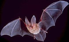 240px-Big-eared-townsend-fledermaus.jpg