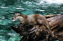250px-Loutre_des_pyrenees_baronnies_2004.jpg