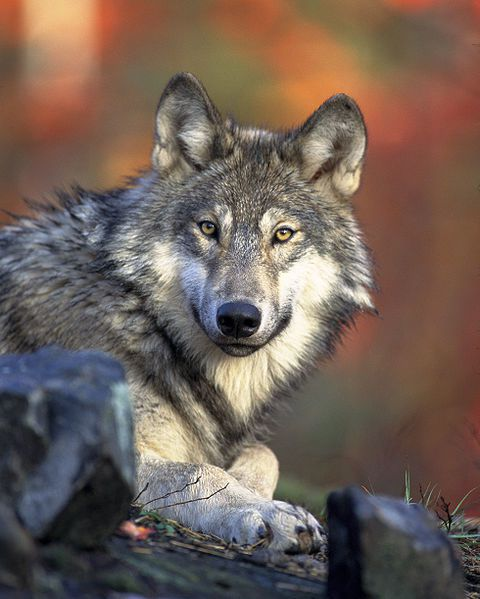 480px-Canis lupus laying