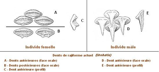 Differences-dents-raies-male-femelle.jpg