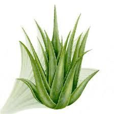 aloes2.jpeg