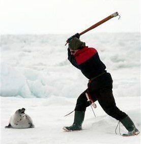 chasse phoque